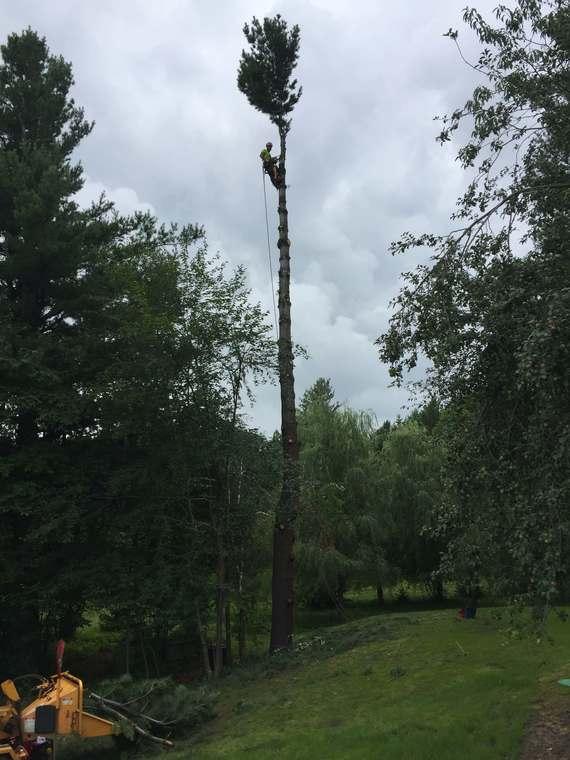 Abattage d'un pin blanc à Ascot Corner