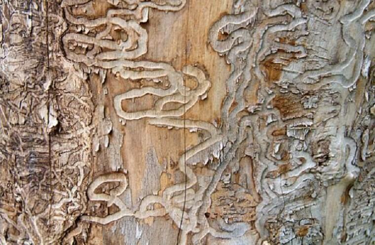 Agrile du frêne en Estrie