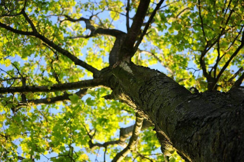 la classification des arbres et des plantes (taxonomie)