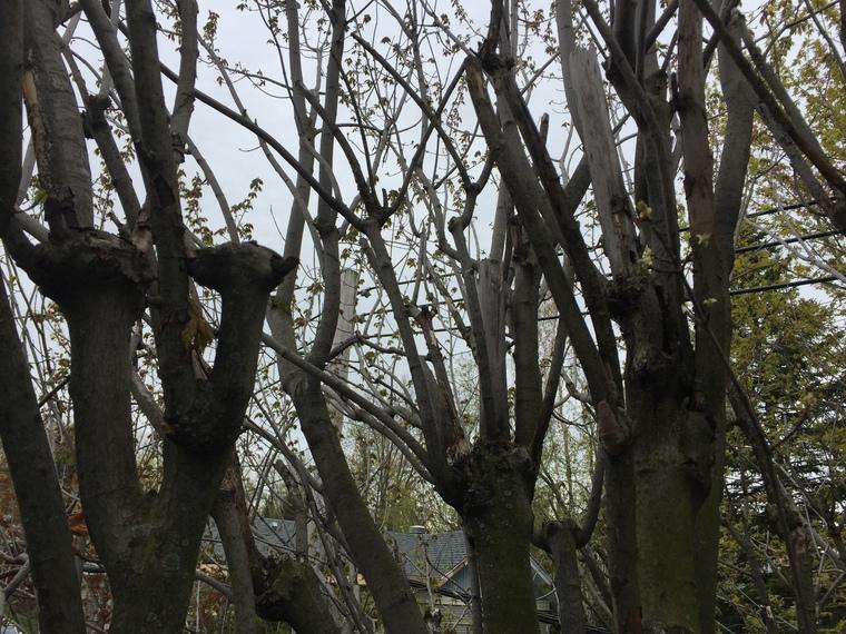 étêtage d'arbre