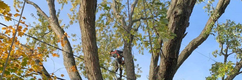 Émondage,  Élagage d'arbre